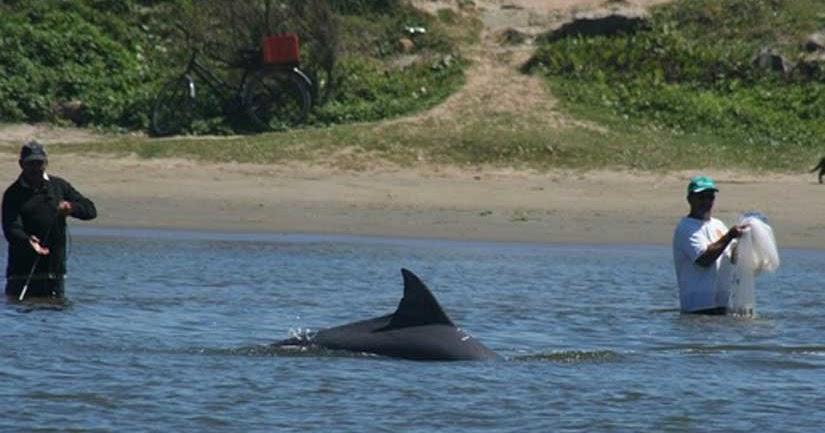 White Wolf : Dolphins Help Fishermen Catch Fish - photo#50