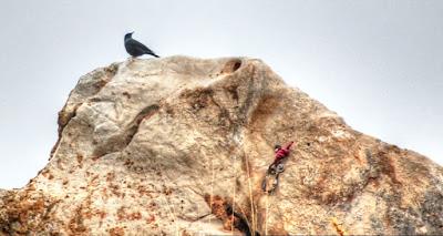 Roquero solitario Monticola solitarius Blue Rock Thrush