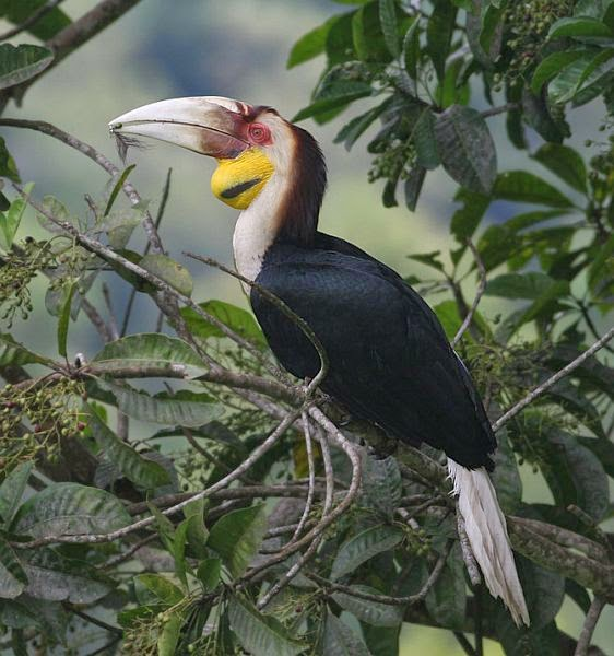 Wreathed Hornbill Animals World: ...