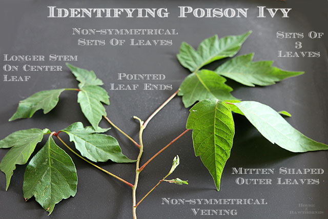 How to identify poison ivy and ways to help prevent getting a rash