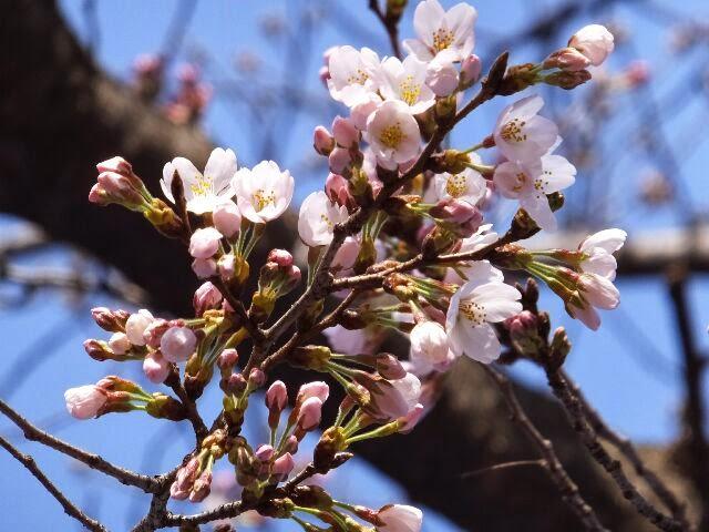 ソメイヨシノは一雨降ったら咲く。