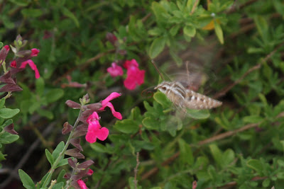 hummingbird moth photo, another view