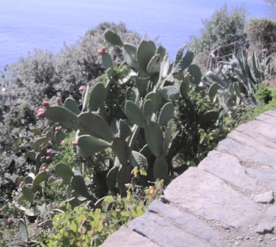 prickly pear cactus, Cinque Terre, Italy