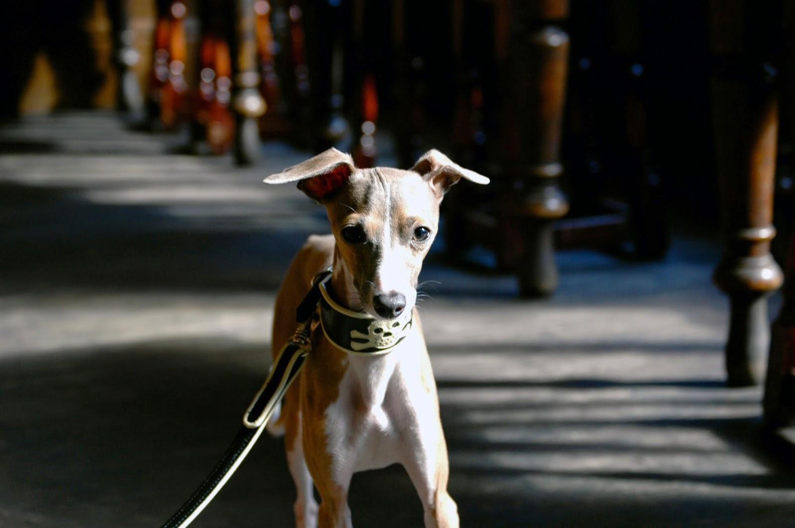 Pirate Dog Collars