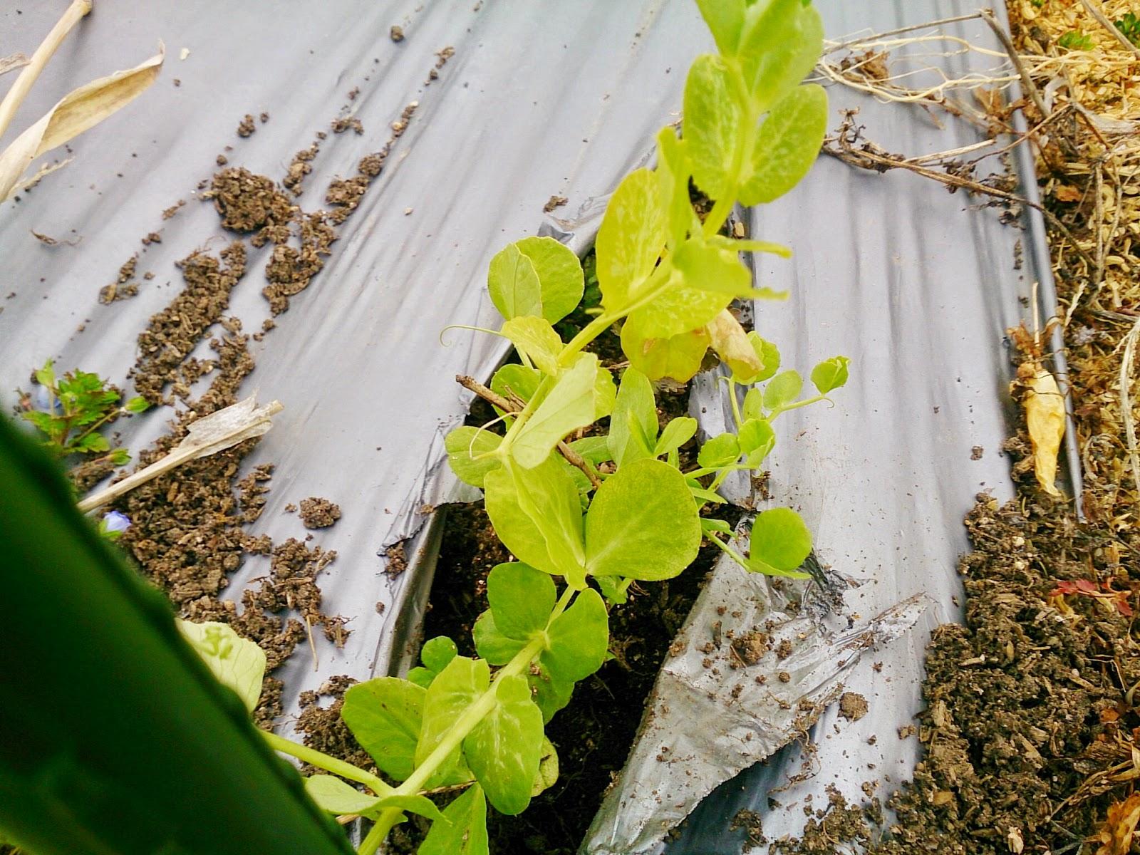 グリンピースの植え付け
