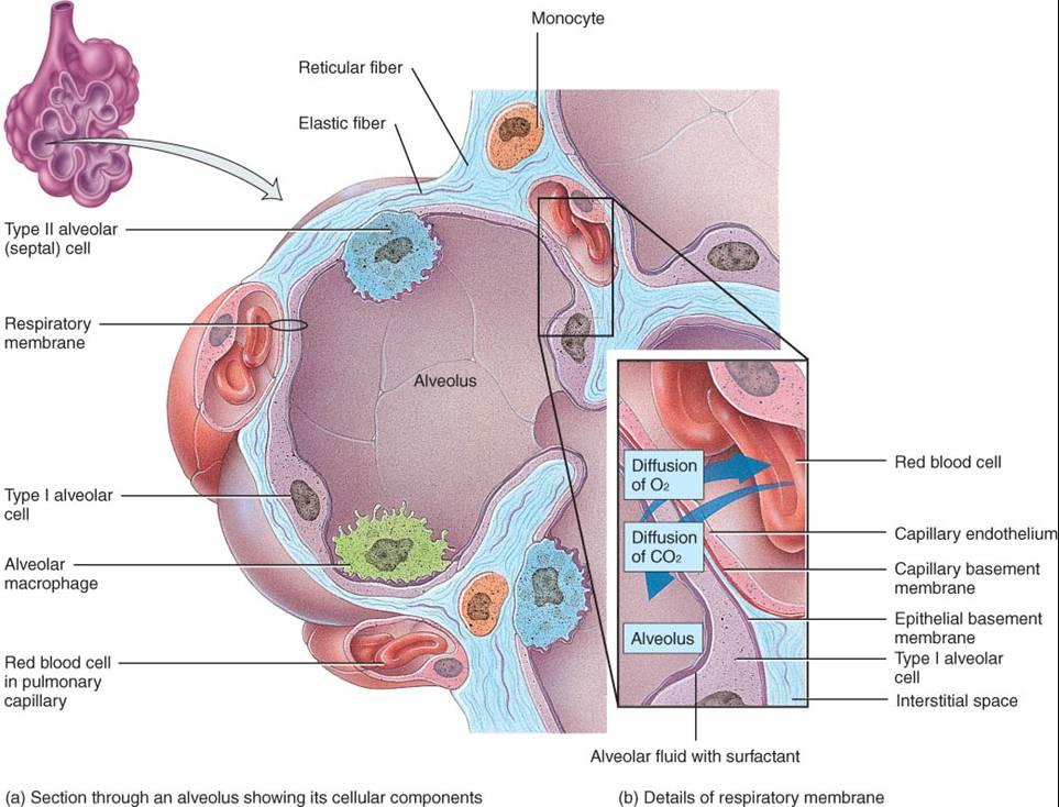 Patología : APARATO RESPIRATORIO: INTRODUCCIÓN