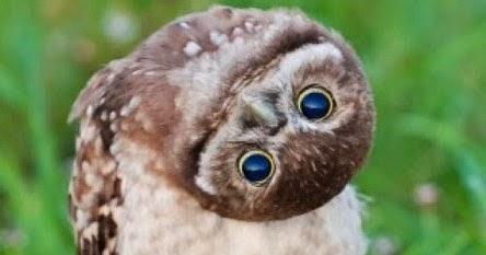 Rahasia Burung Hantu Bisa Memutar Kepalanya Hingga 270 ...