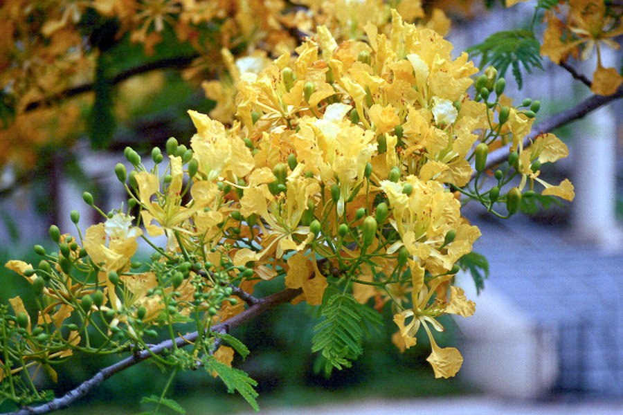 A regal tree for summer color hawaii horticulture yellow poinciana flower cluster mightylinksfo
