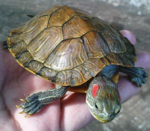 Ancaman Kura Kura di Indonesia Kura-kura-brazil-red-eared-slider-RES-2.JPG