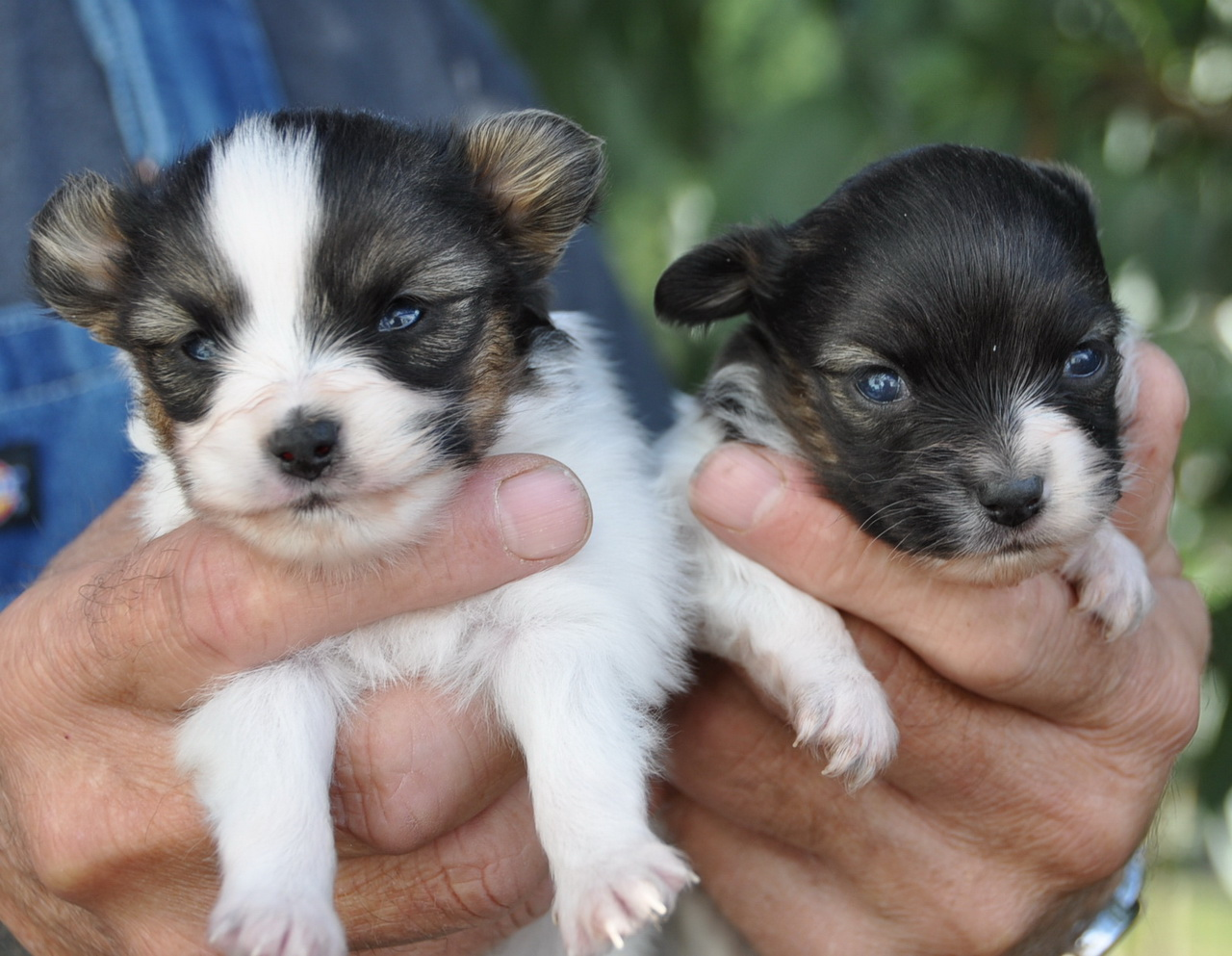 Roads End Papillons 3 Week Old Papillon Puppies