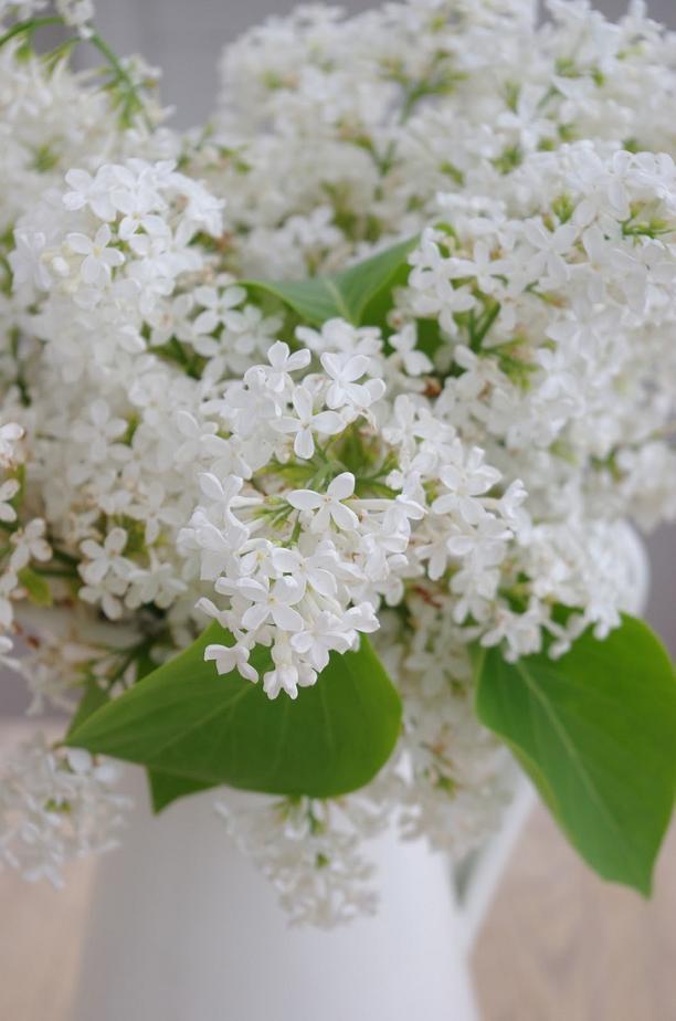 Syringa 'White Lilac' by Frokeniknopp