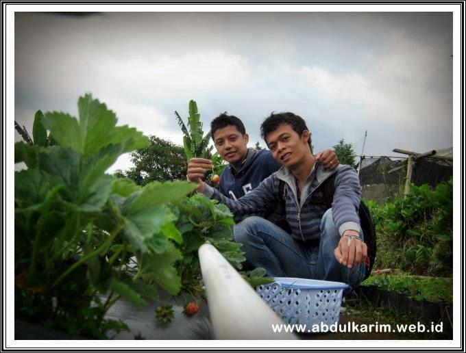 Kebun Strawberry di Desa Tongkoh