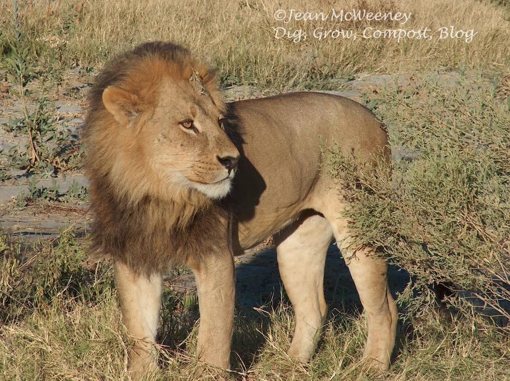 lioness roaring at lion meme