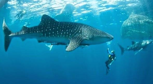 Snorkling Wisata Raja Ampat