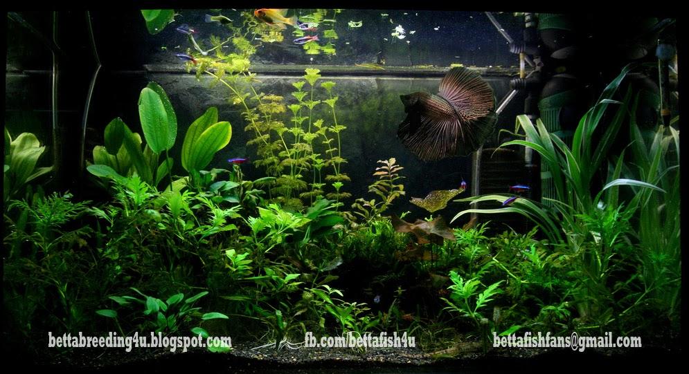 All about betta fish copper black halfmoon betta fish in for Betta fish plant tank