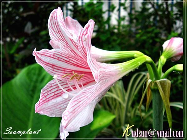 Amaryllis review hippeastrum amaryllis mrs garfield for Amaryllis sweet pink