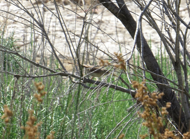 Western Olivaceous Warbler - Spain
