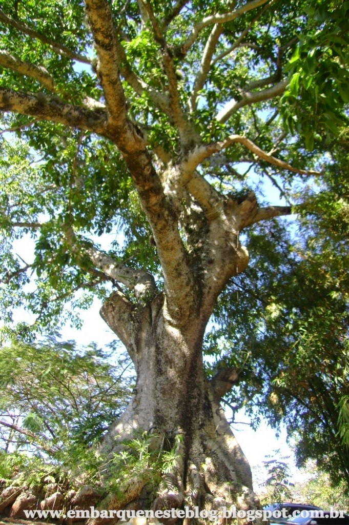 Figueira secular na Fazenda Capoava