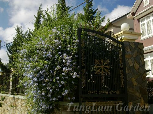 bán thanh xà, hoa thanh xà, bạch hoa xà, đuôi công xanh