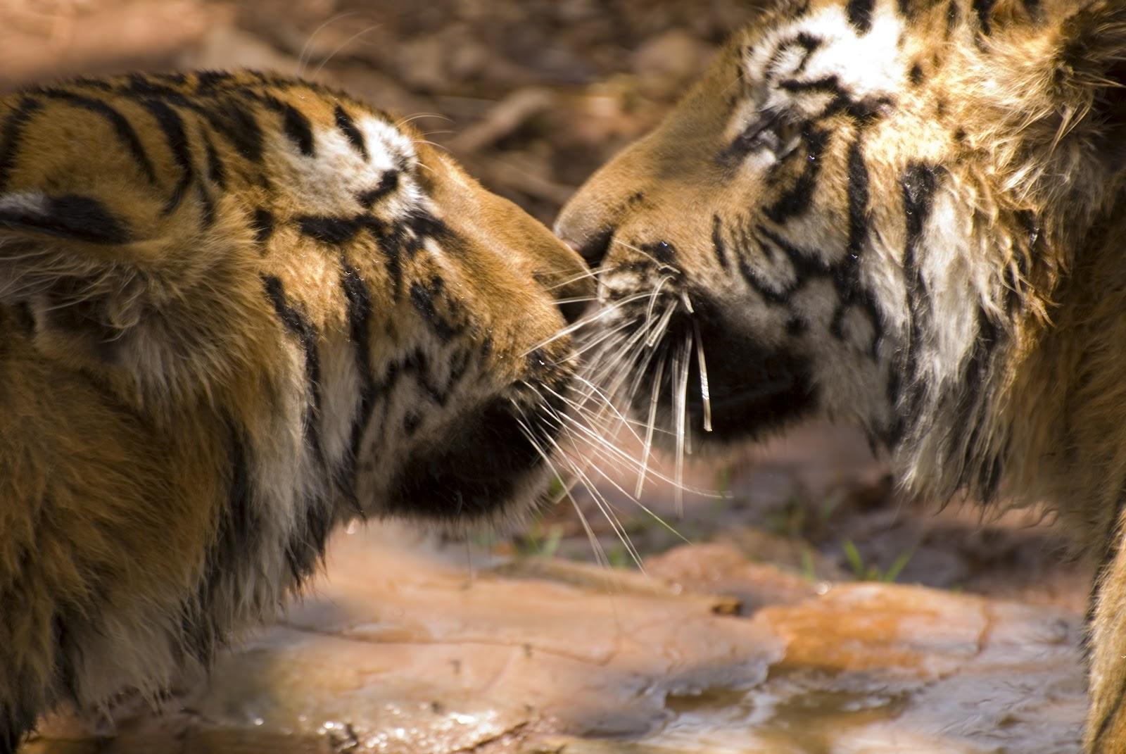 http://2.bp.blogspot.com/-hf71-MRH0Vo/UBUO0INTt1I/AAAAAAAAC1o/M59WcgpMMgE/s1600/bengal+tiger+pics+(2).jpg