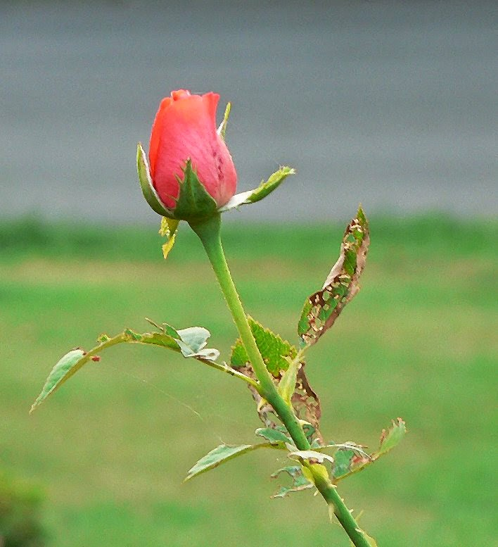 stressed rose from spiritual mechanics of diabetes blog