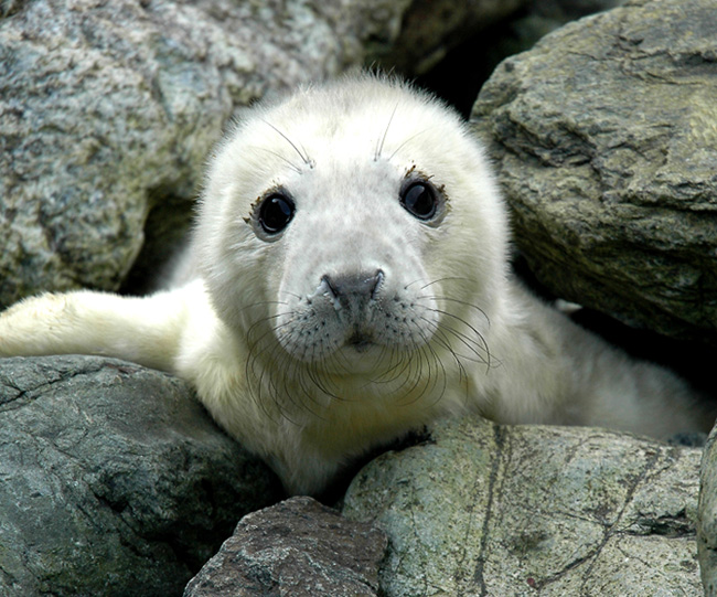 Grey Seal | Endangered Animals Facts, Wildlife Pictures And Videos Webbed Hands