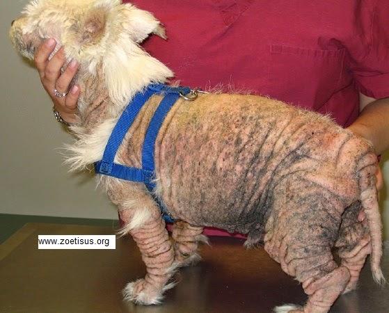 Kenali Gejala Penyakit pada Anjing sebelum Terlambat