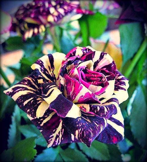 لمحبى الازهار والورود ..شاهد بالصور ..اجمل الزهور المستحدثه بالوان رائعه (11 صوره )
