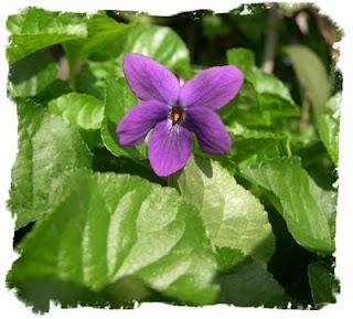 Viola mammola fiorita nel mio giardino