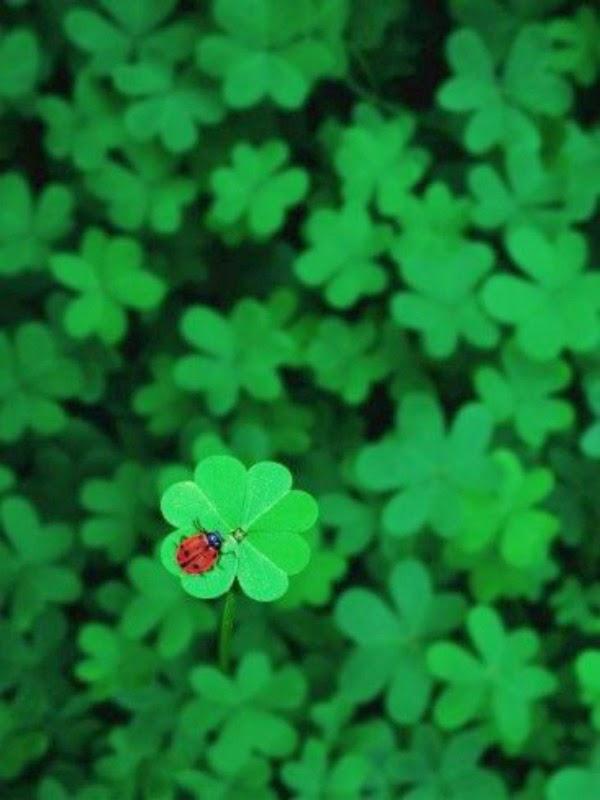 four leaf clover and lady bug