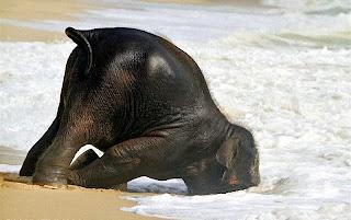 Felicidades, Jurásica !!! Cria+de+elefante+jugando+en+la+playa+1
