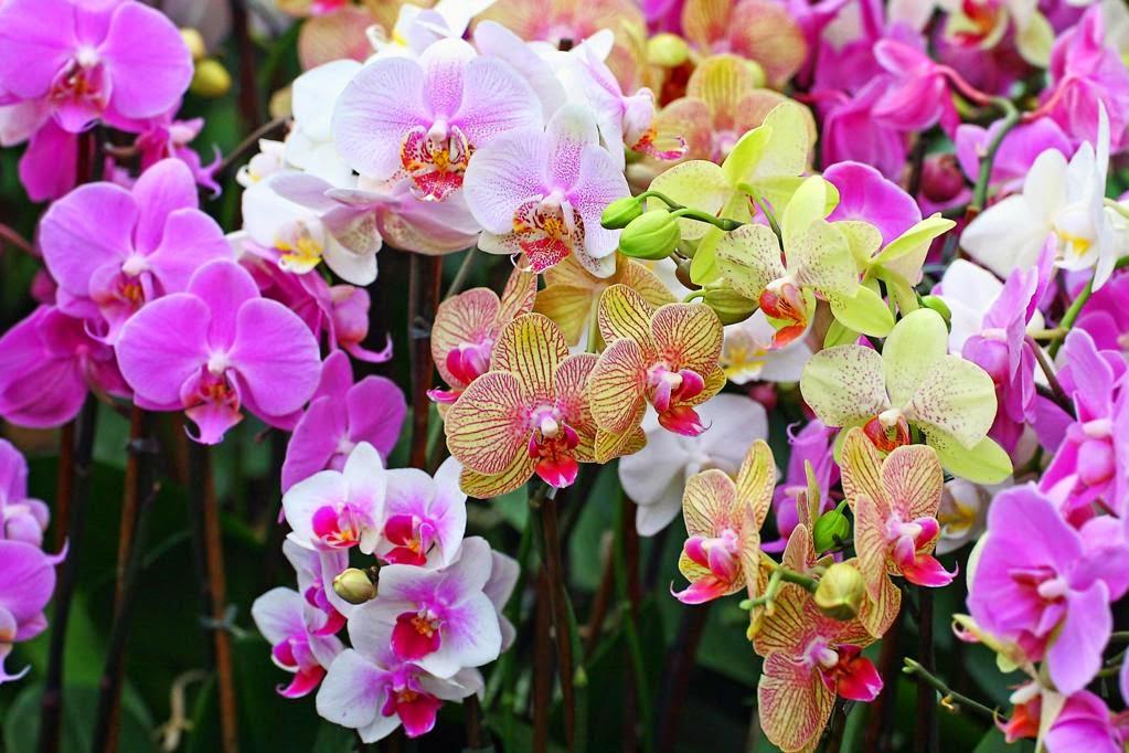 ảnh nền hoa lan cực đẹp