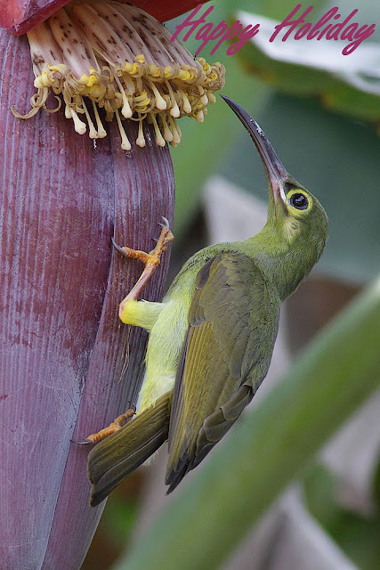 Spectacled Spiderhunter wish you Happy Holidays