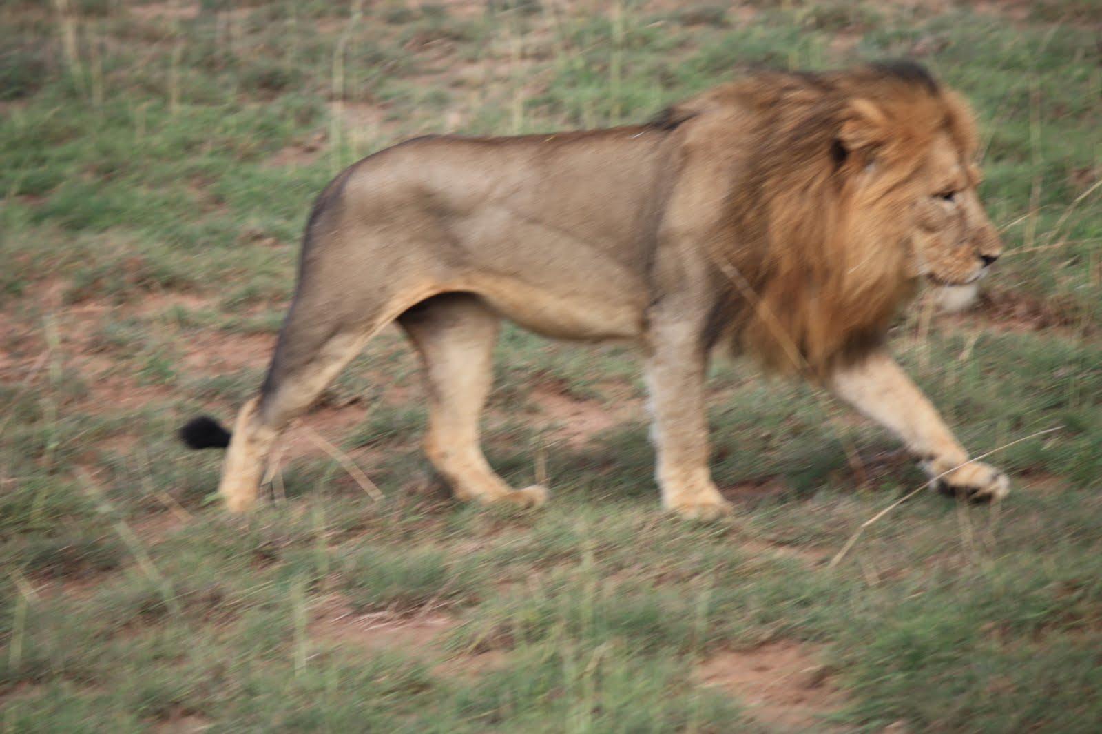 Lion sitting profile - photo#17