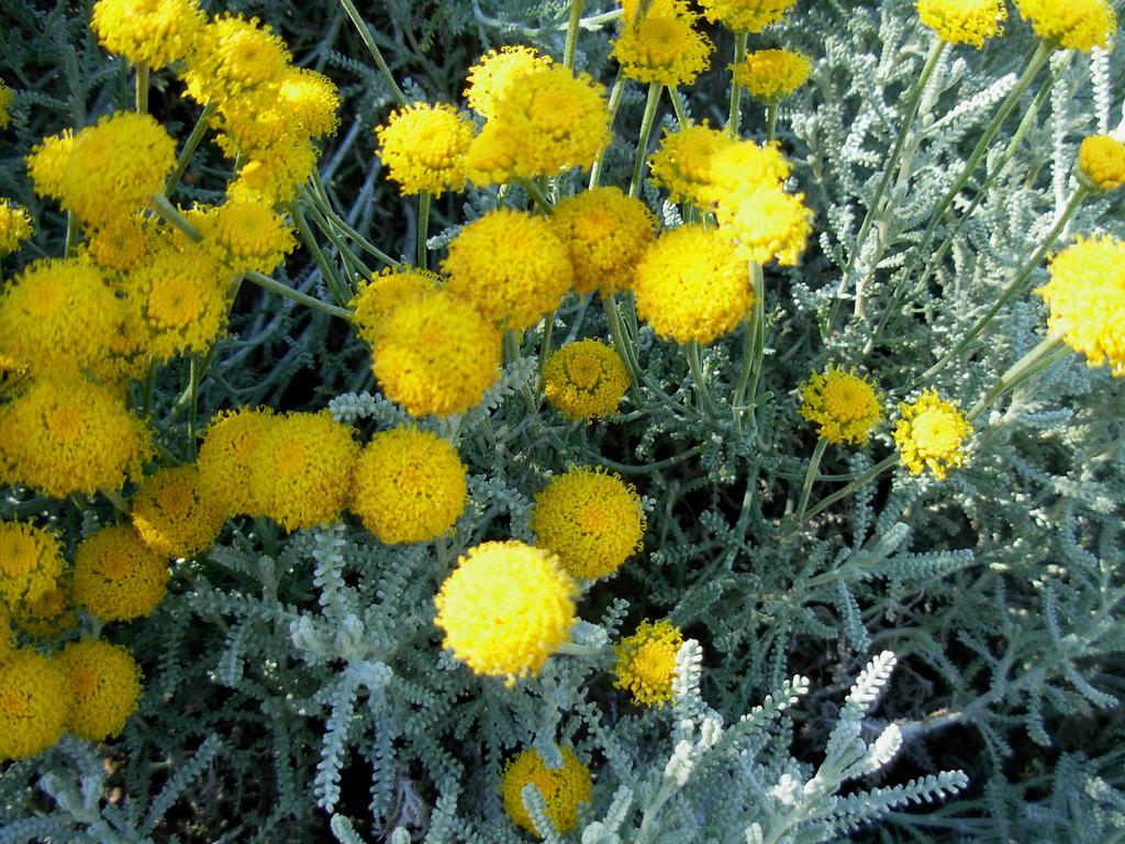 backyard patch herbal blog santolina herb of the week