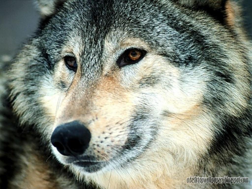 free wolf