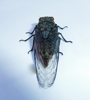 Eugene, Oregon, summer, cicada