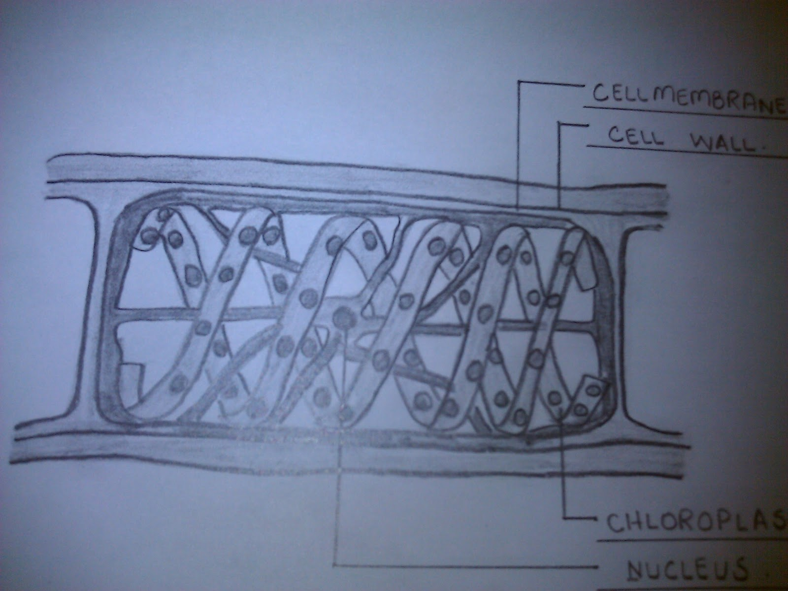 Isolated system study of spirogyra spirogyra diagram with label lings nucleus chloroplast cell wall and cell membrane ccuart Gallery