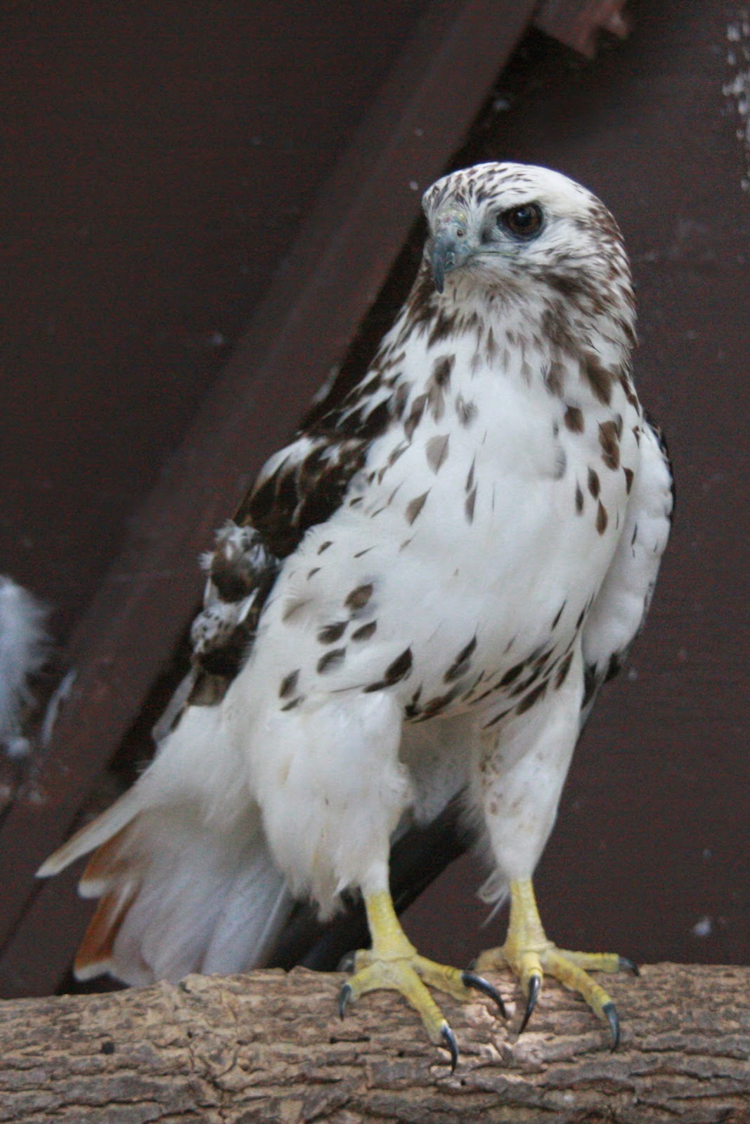 Nelson A Kriders Red Tailed Hawk Is WBS Resident Bird Photo Gay Schroer