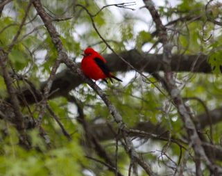 photo of male scarlet tanager