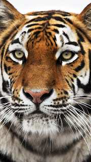 HD Siberian Tiger Wallpapers for iPhone 5