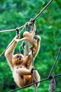 Changos jugando en el bosque - Monkeys