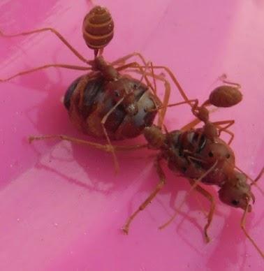 Jenis Semut Rang-Rang (Semut Penghasil Kroto)