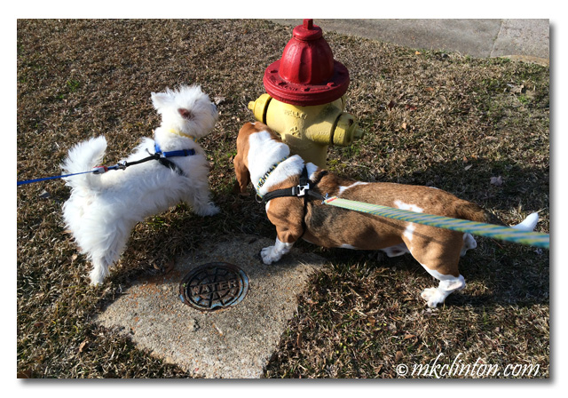 Bentley Basset and Pierre Westie smelling fire hydrant.