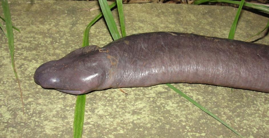cuanto mide el pene del tapir