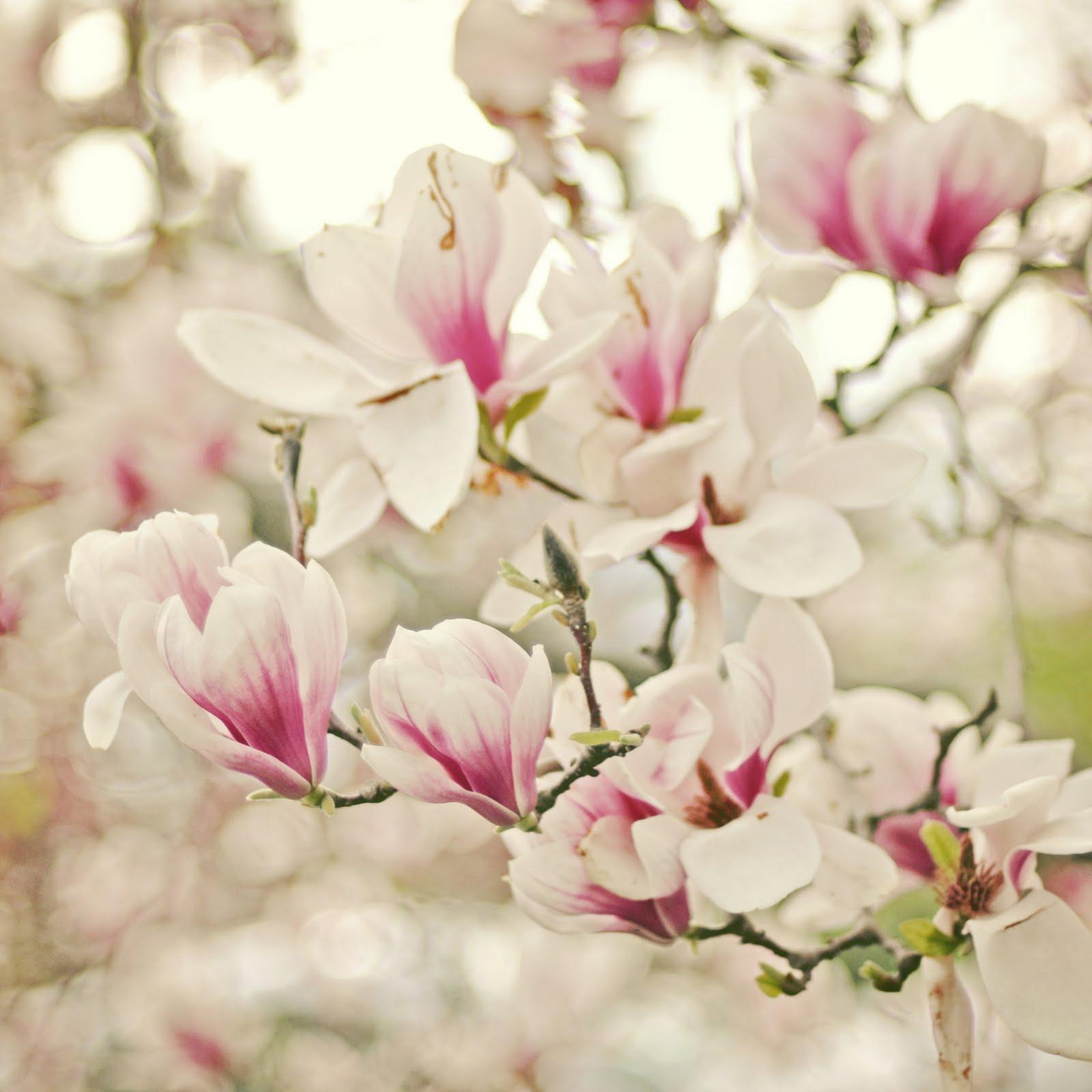 Magnolias en flor :: Imágenes y fotos Florespedia com - Imagenes De Flores Magnolias