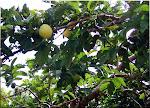 Árvores Frutíferas