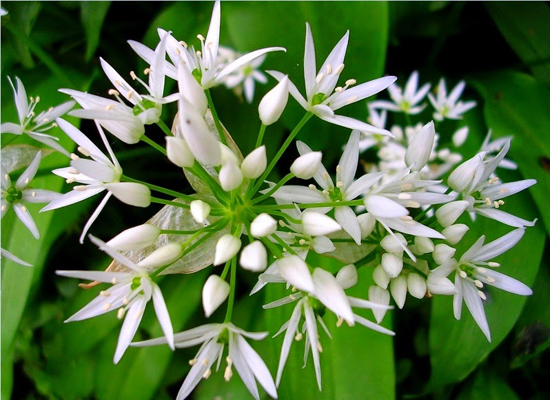 Wild Garlic Growing Tips and Guidelines