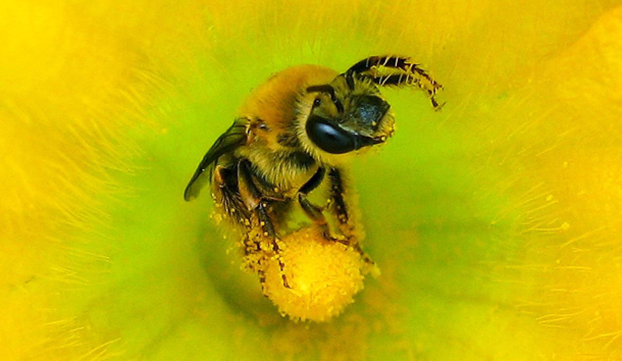Bal arısı, Arıcılık, Ana arı, Karniyol ana arı, Arılarda üreme,