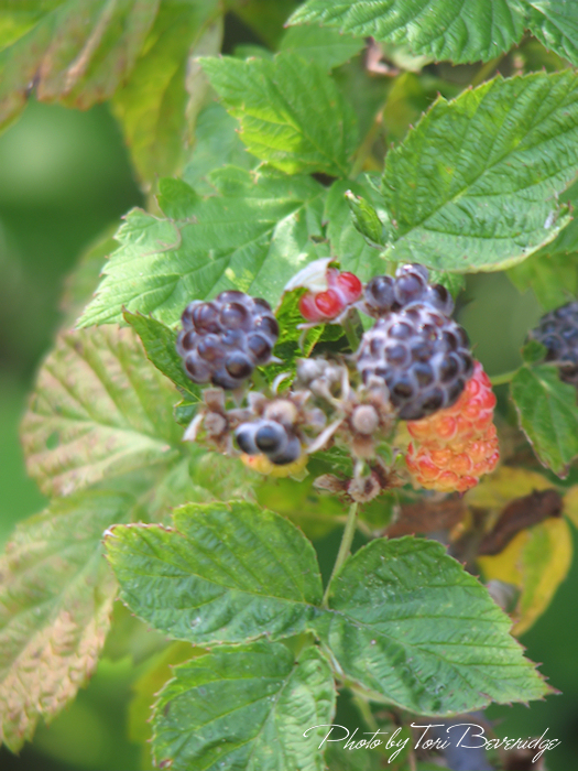 Blackberries Close Photo by Tori Beveridge